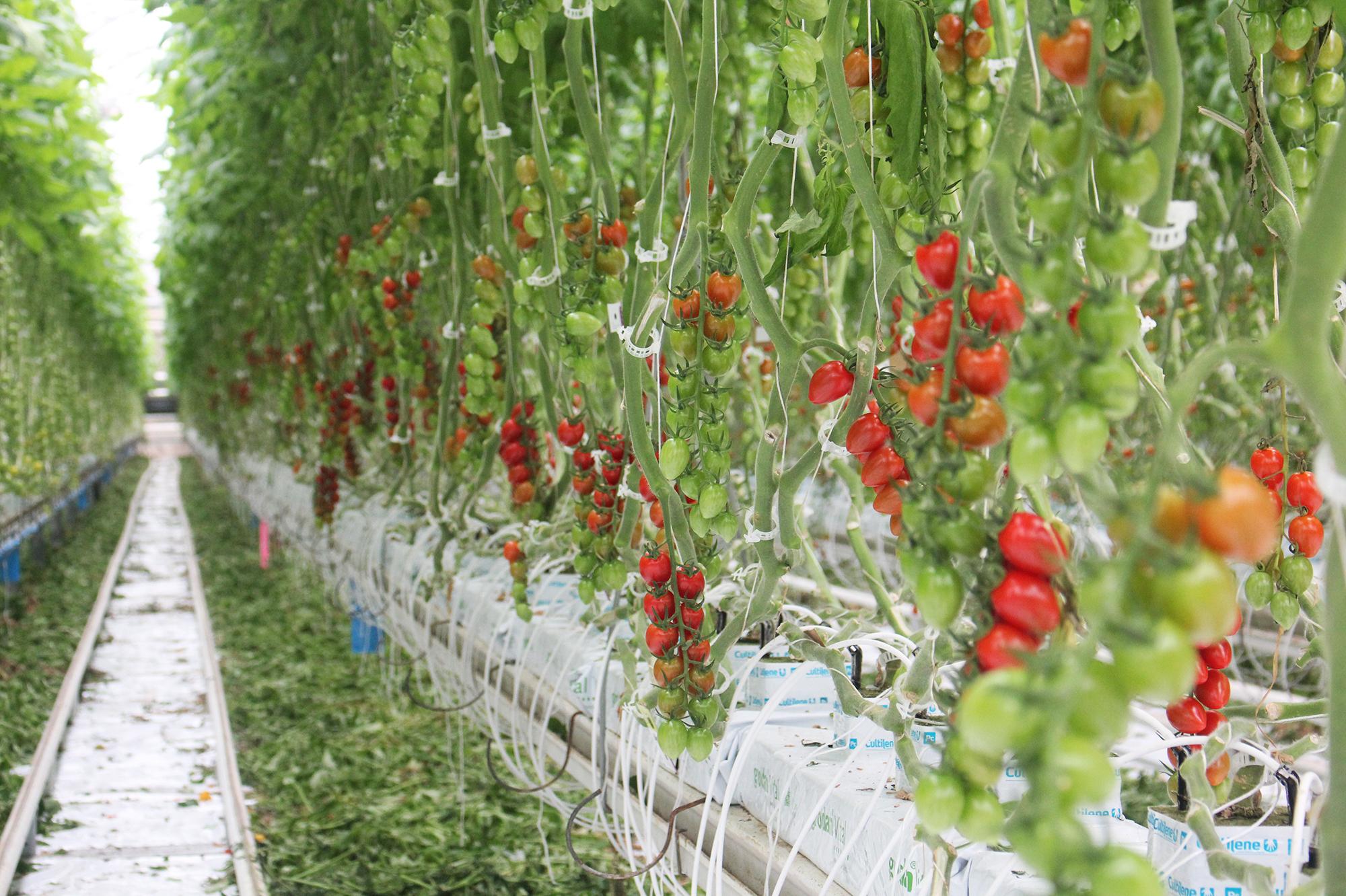 Плюсы и минусы выращивания томатов на гидропонике