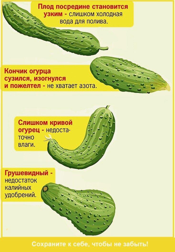 Почему огурцы пустые внутри: что делать, чтобы плоды не были пустотелыми