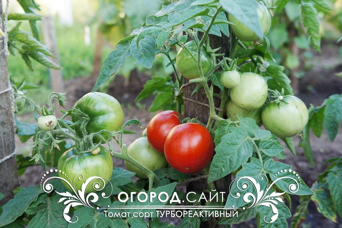 Томат турбореактивный: описание сорта, фото, отзывы, характеристика плодов и урожайность