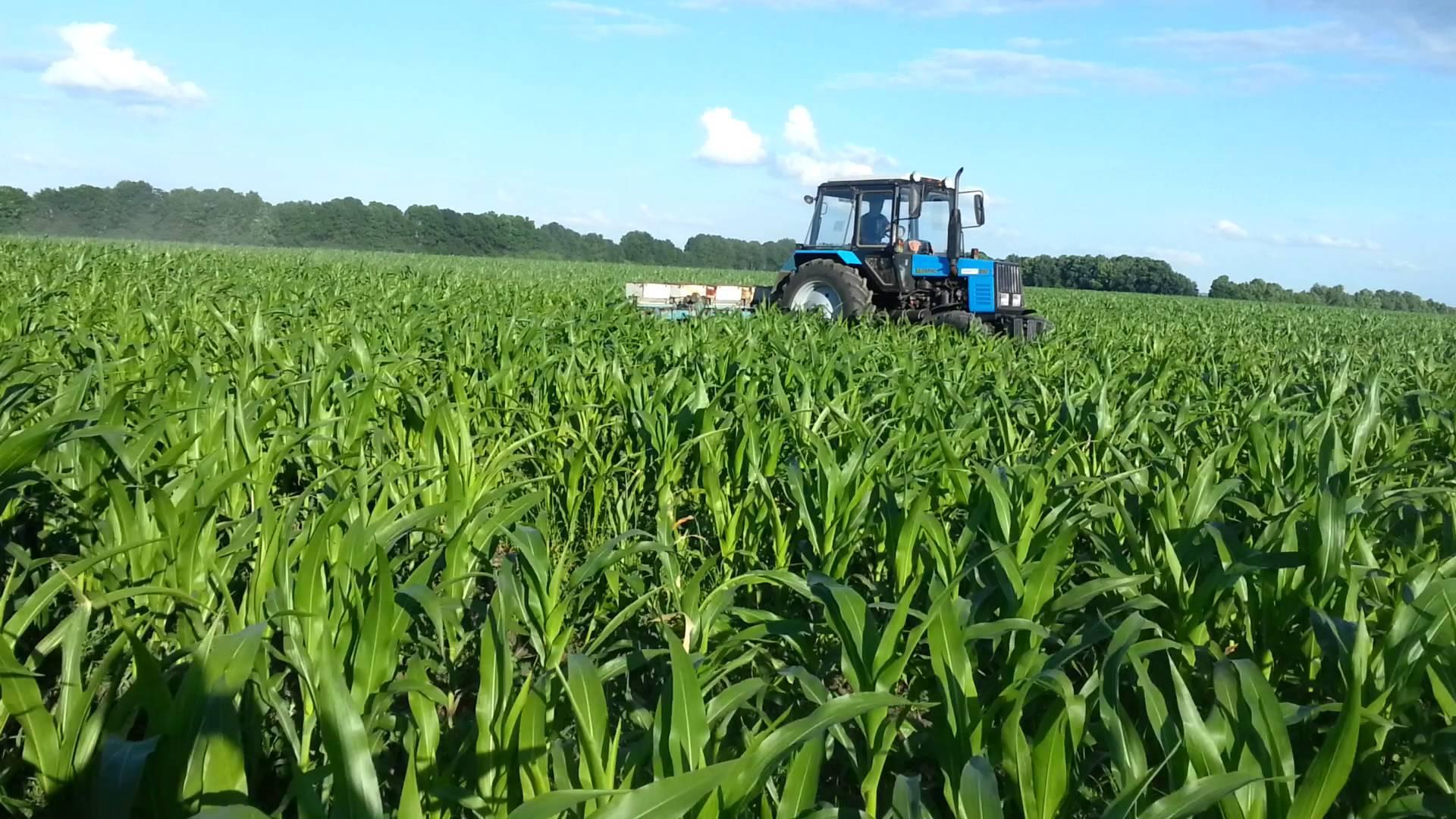 Кукуруза на силос: технология возделывания, рекомендуемые сорта и сроки сбора урожая