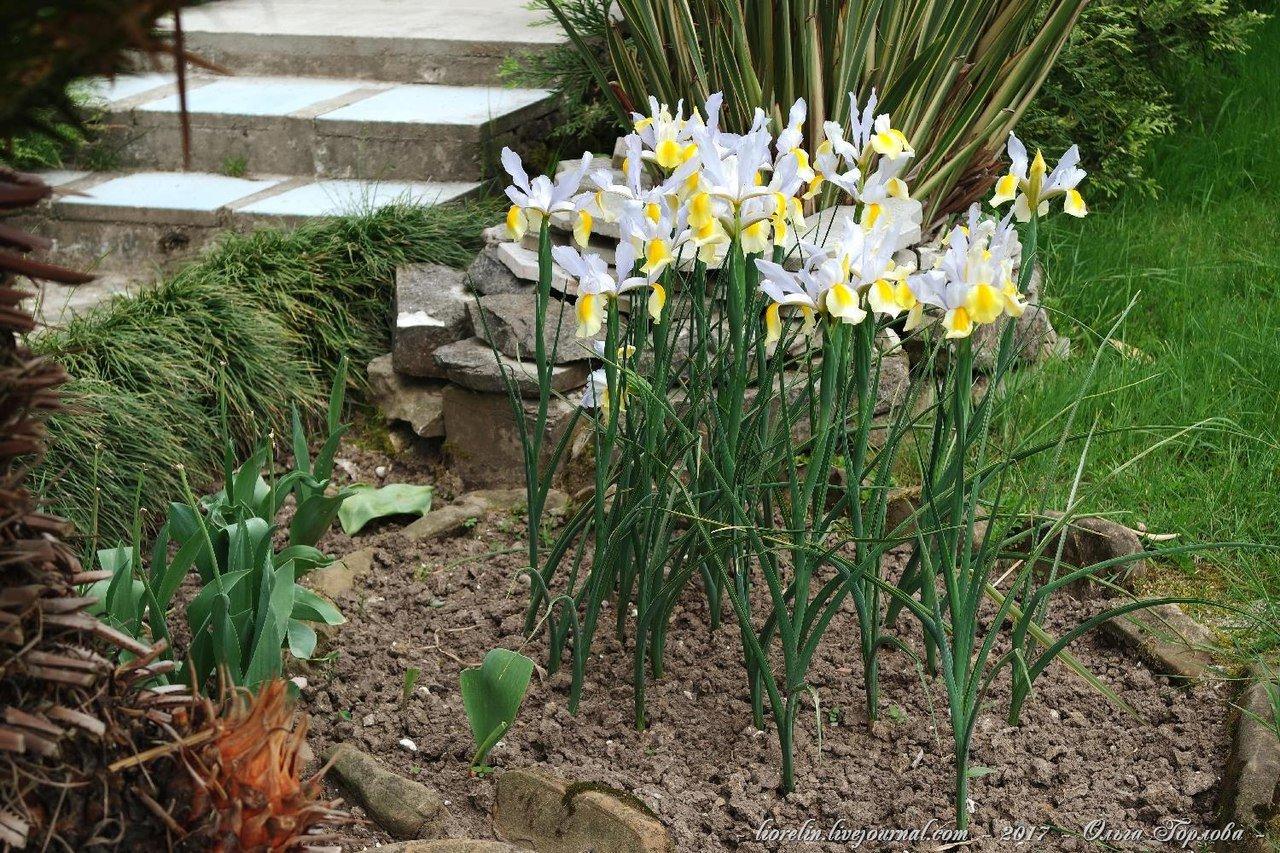 Ирис болотный — описание, посадка и уход за цветком ?