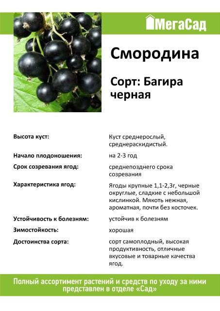 Черная смородина титания описание сорта фото отзывы