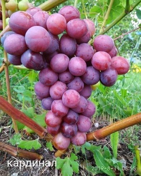 Вредители и болезни винограда: описание с фотографиями, чем обработать лозу от заболеваний и насекомых