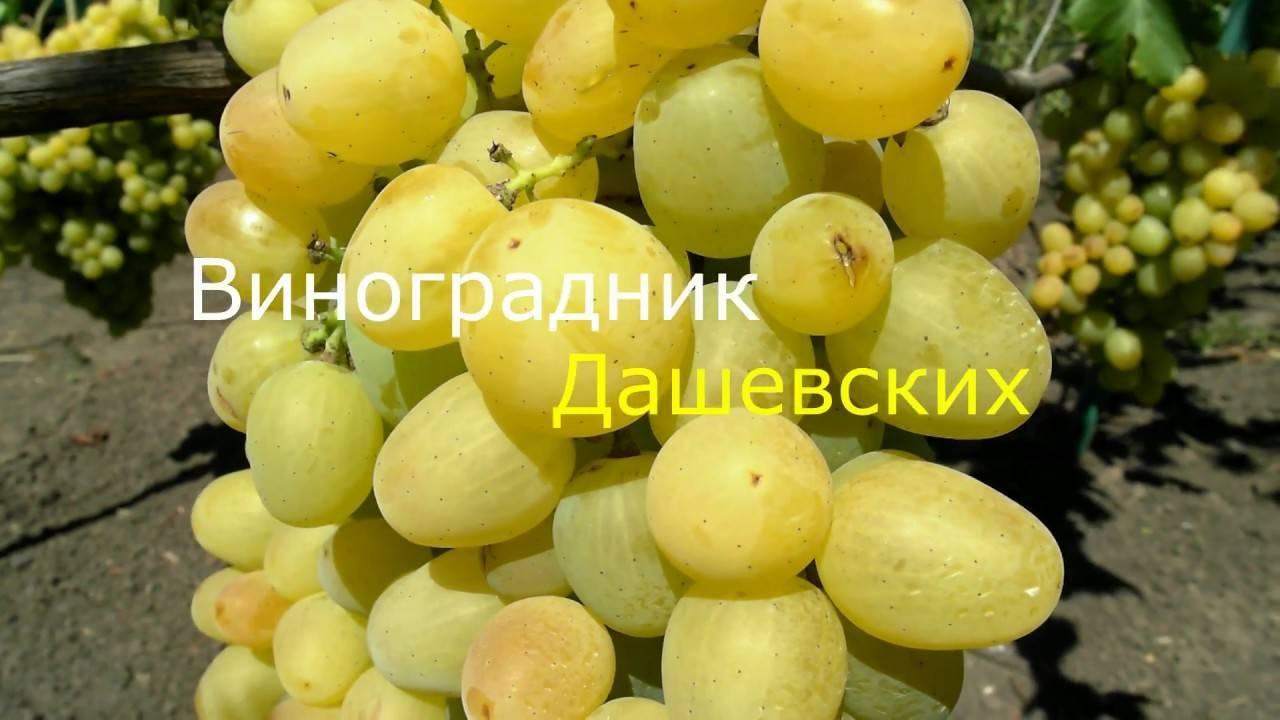 Виноград «супер экстра»: описание, выращивание, уход - мы дачники