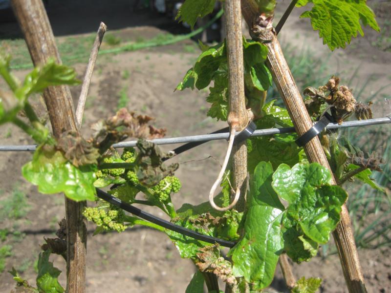 Горошение винограда причины