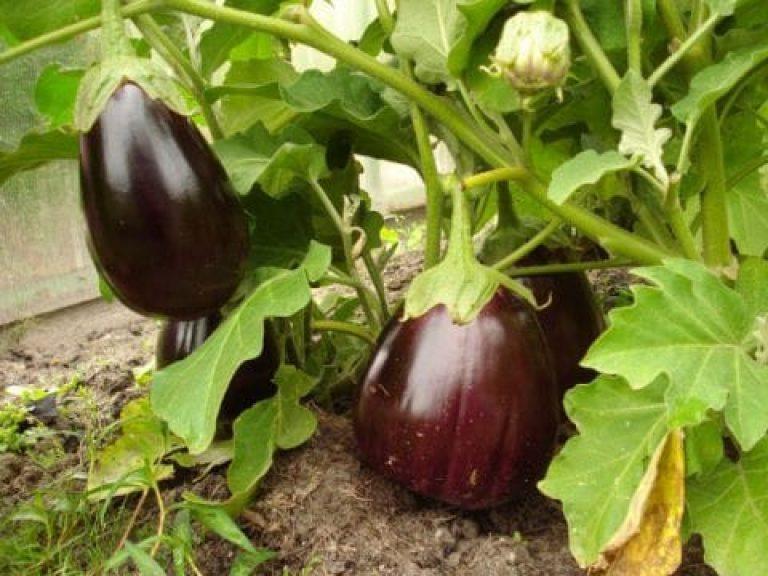 Баклажан черный красавец: описание сорта, выращивание и уход