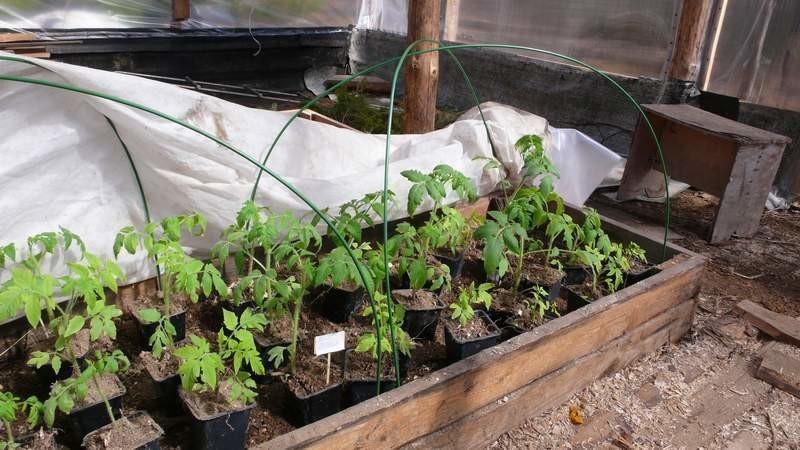 Помидоры черри выращивание в открытом грунте на своем огороде
