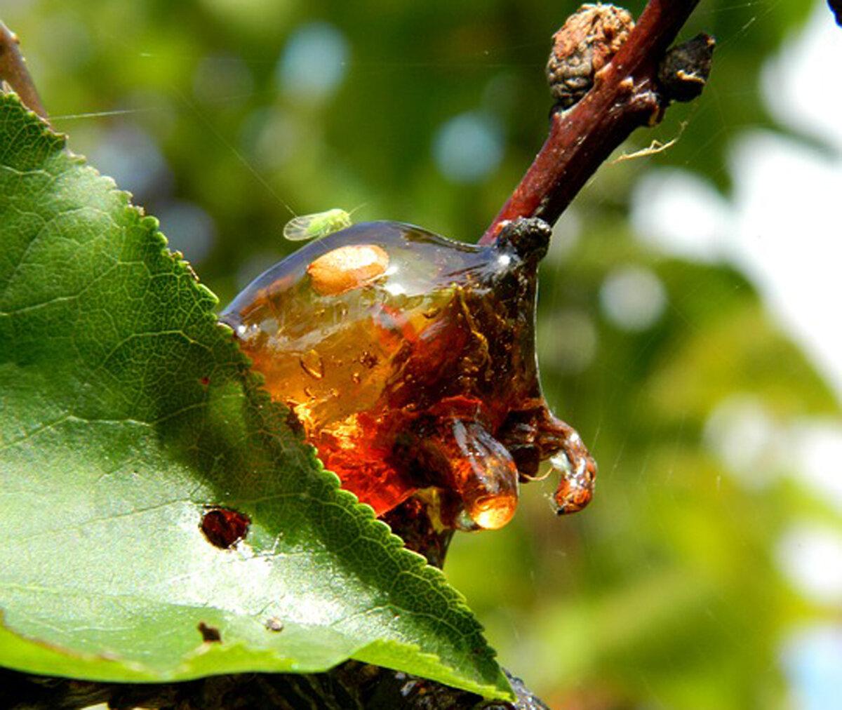 Вишневая смола или камедь: причины появления, меры борьбы