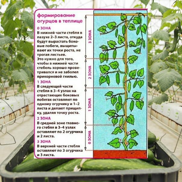 Как правильно пасынковать огурцы в теплице - садоводству да