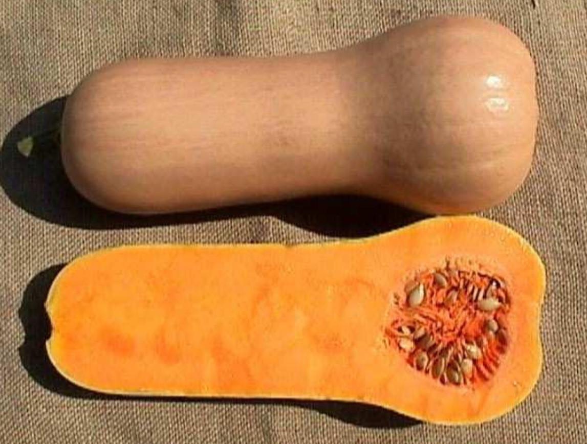 Описание сорта тыквы баттернат, особенности выращивания и ухода