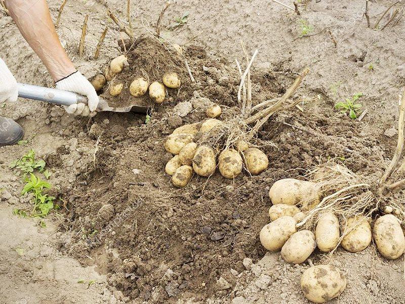 Плохо растет картофель: причины, что делать, решение