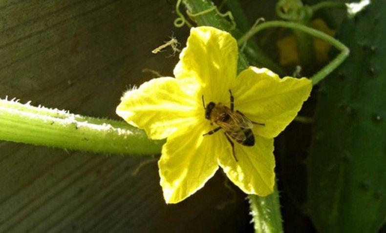 Дыня: агротехника выращивания в открытом грунте и парниках