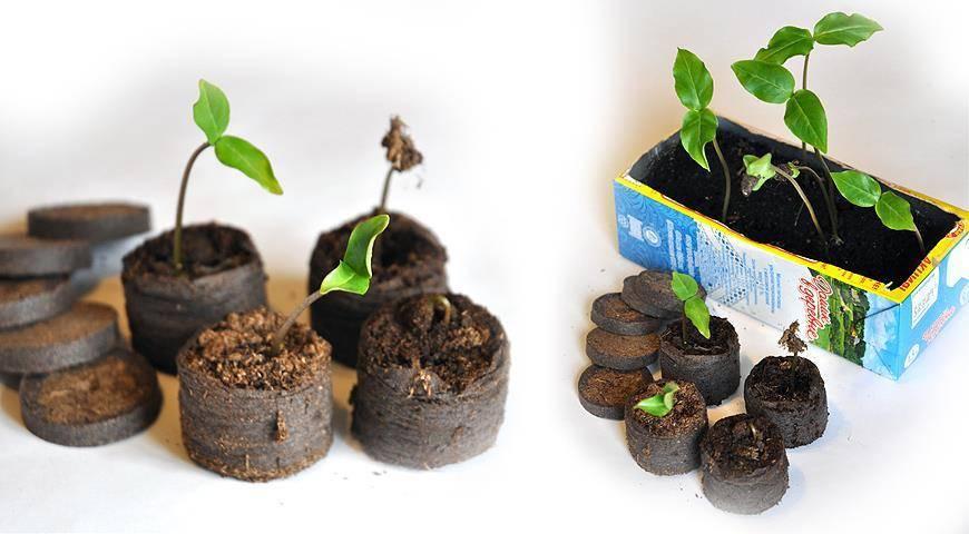 Торфяные таблетки: как пользоваться брикетами для рассады? как сажать и выращивать семена огурцов? для чего нужны? как размочить, отзывы