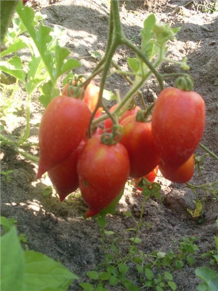 Сорт томатов «легенда тарасенко»: надежный и урожайный
