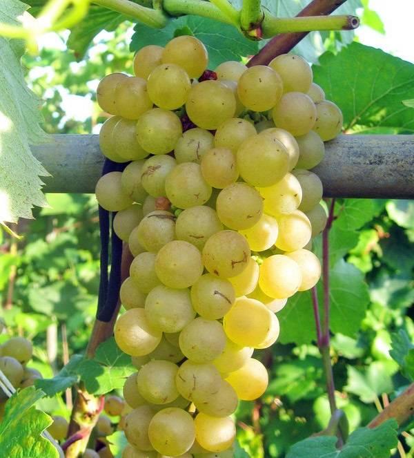 """Виноград """"платовский"""" характеристика сорта, описание особенностей выращивания и фото"""
