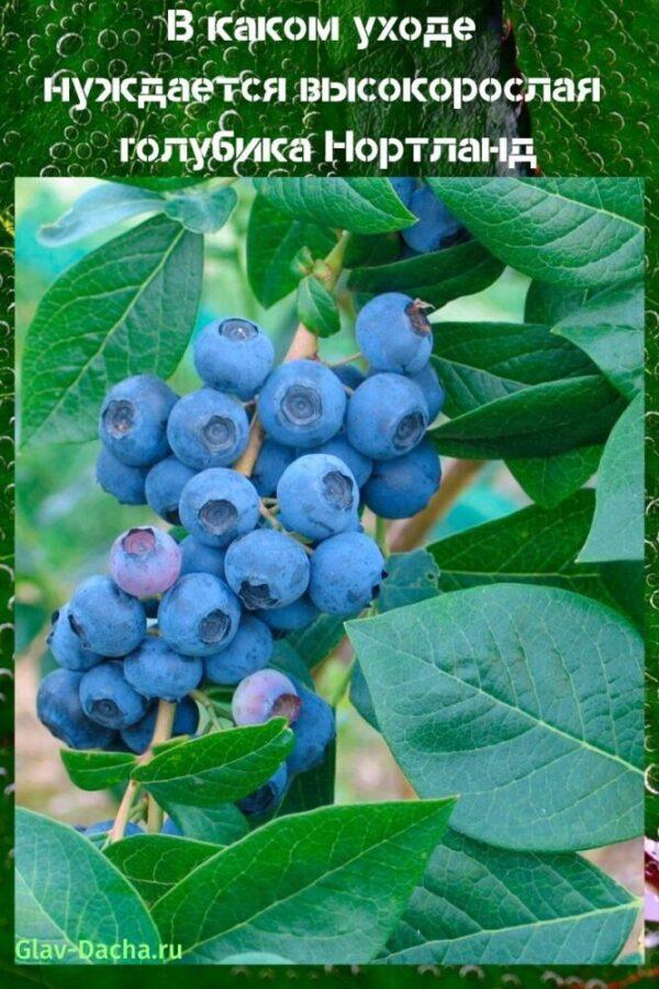 Голубика патриот: описание сорта, посадка и уход
