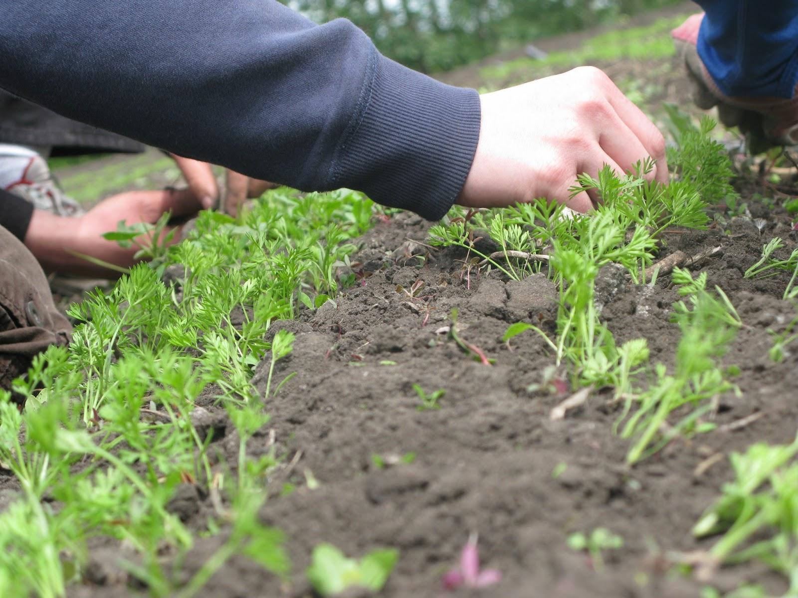Выращивание корневой и листовой петрушки из семян