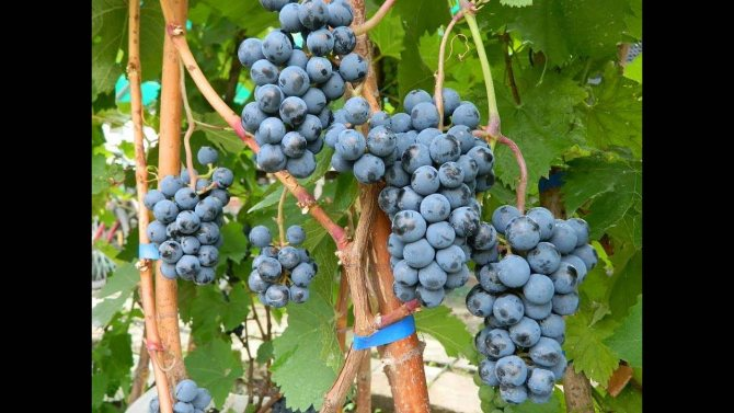 Виноград шоколадный: описание сорта и характеристики, посадка и уход, размножение