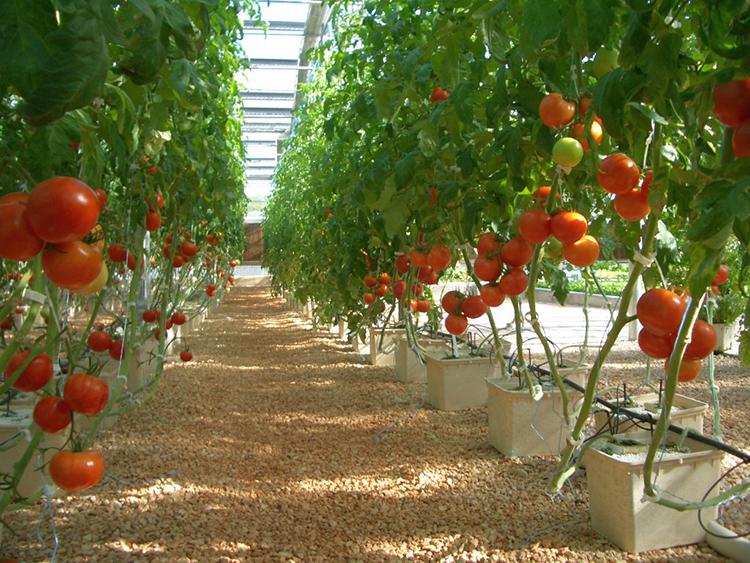 Как вырастить помидоры на гидропонике в теплице и домашних условиях