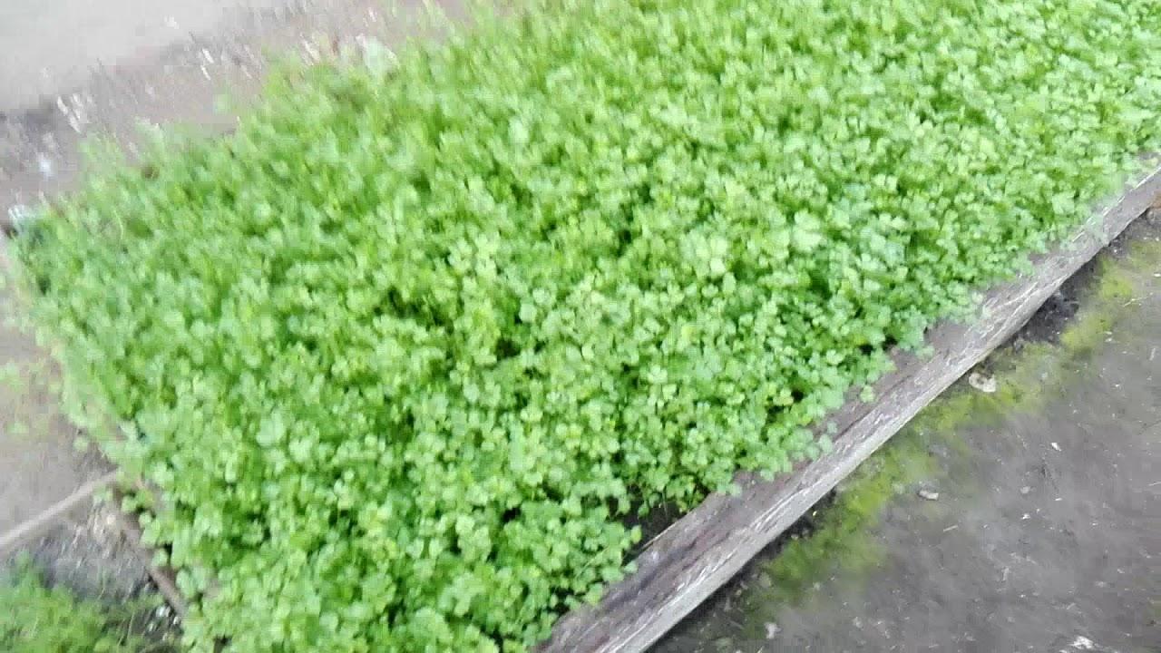 Выращивание кинзы в теплице зимой: как подготовить теплицу и грунт?