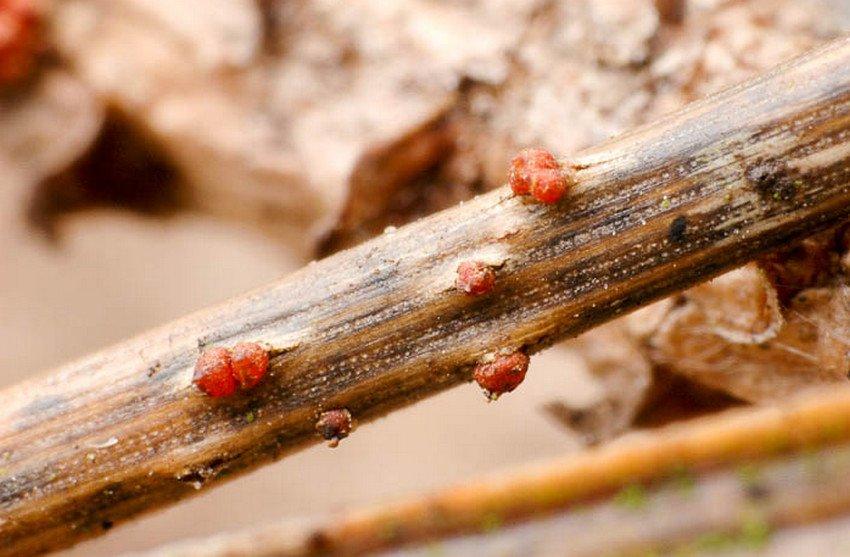 Болезни и вредители барбариса и борьба с ними