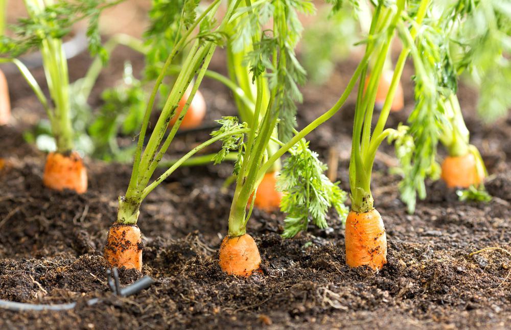 Как вырастить крупную и сладкую морковь? приёмы, агротехника, советы и секреты. фото — ботаничка.ru
