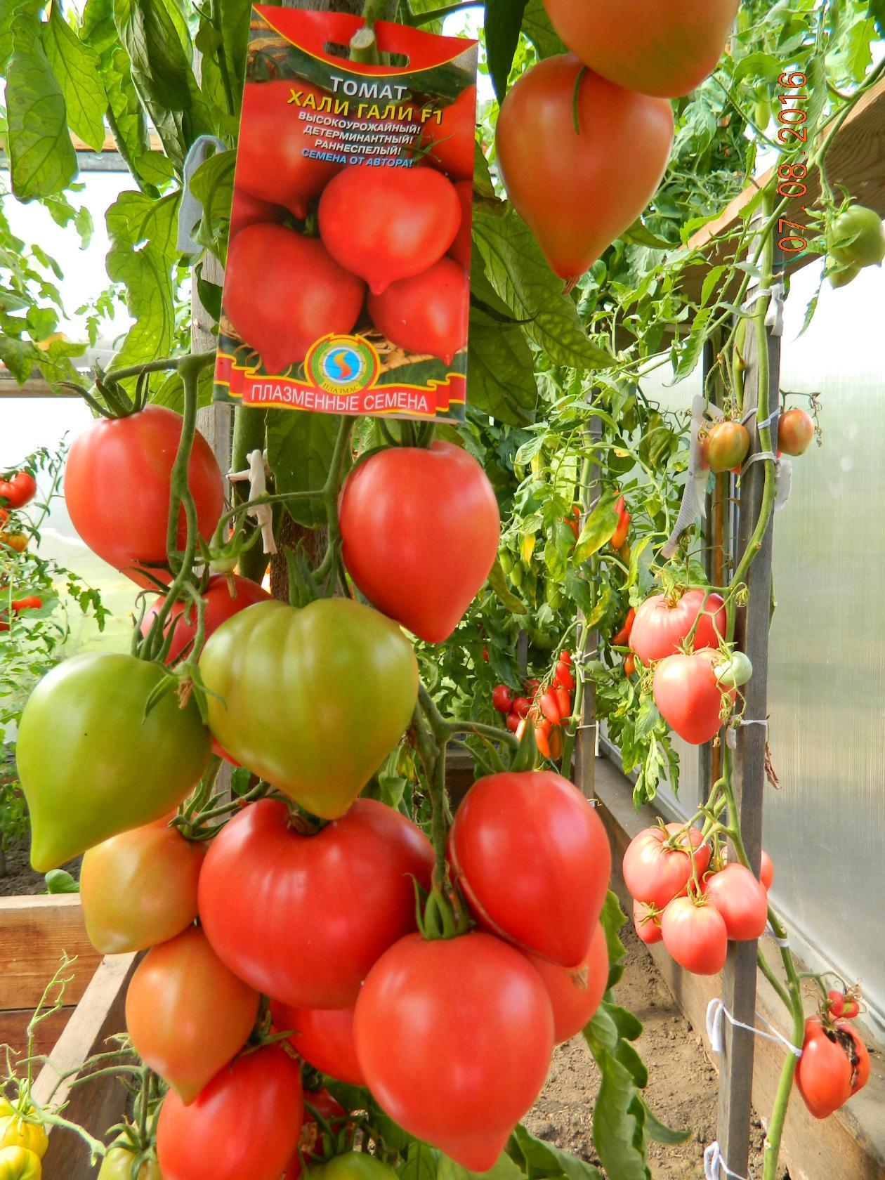 Свойства и характеристики томата Михей, выращивание и уход