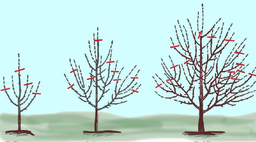 Правильная обрезка яблони