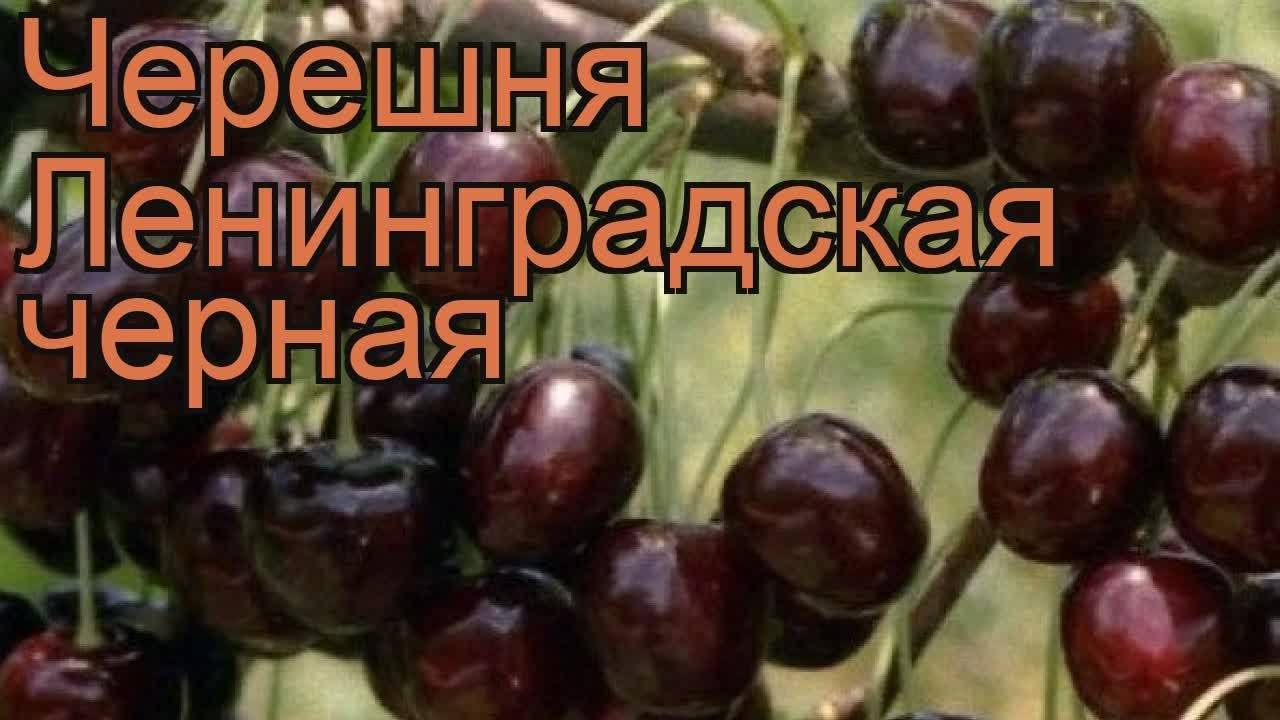Черешня ленинградская черная: описание, отзывы