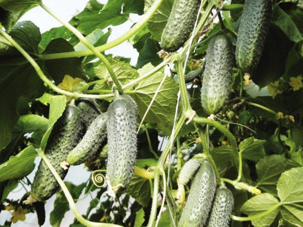 Рекомендации по выращиванию гибрида огурцов «беттина f1»