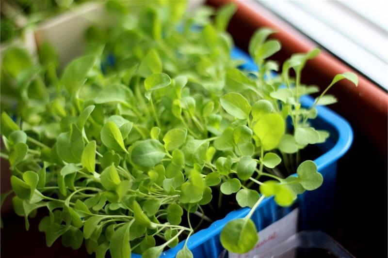 Как вырастить рукколу в домашних условиях на подоконнике: можно ли получить из семян