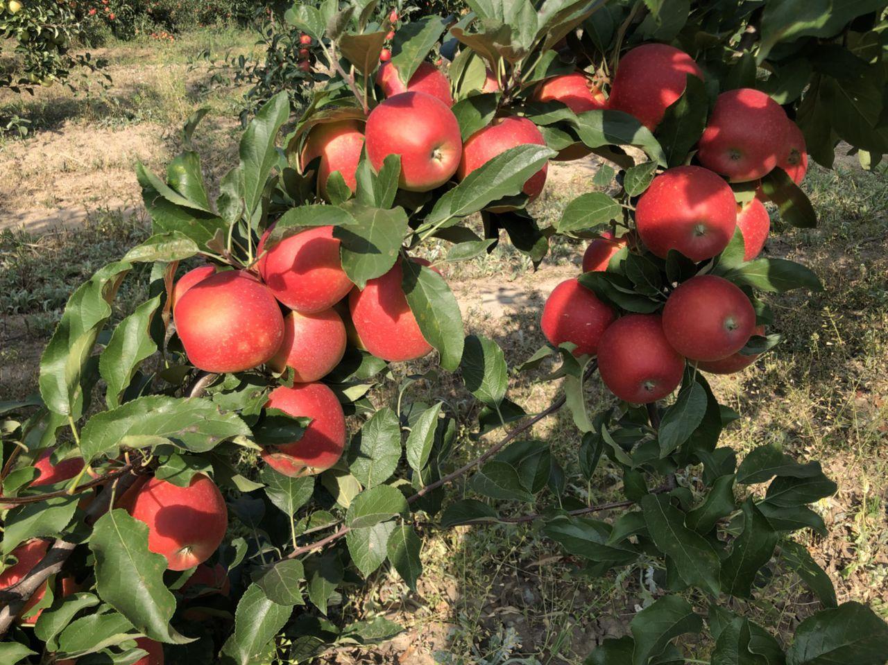 Яблоня гала: описание и характеристики сорта, разновидности, выращивание и уход