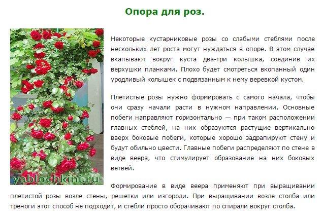 Особенности агротехники плетистых роз, все от посадки до укрытия на зиму + личный опыт с видео на supersadovnik.ru