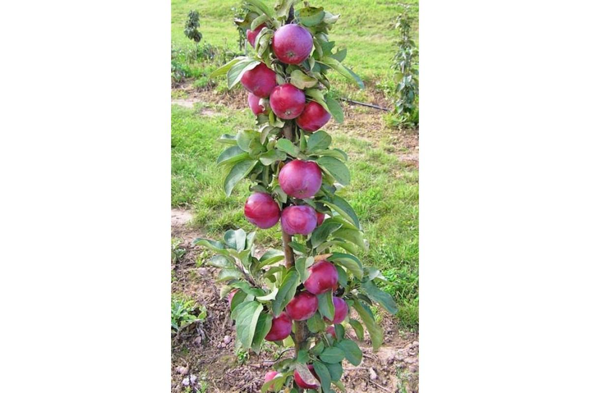 Один из самых популярных и урожайных сортов — колоновидная яблоня «останкино»