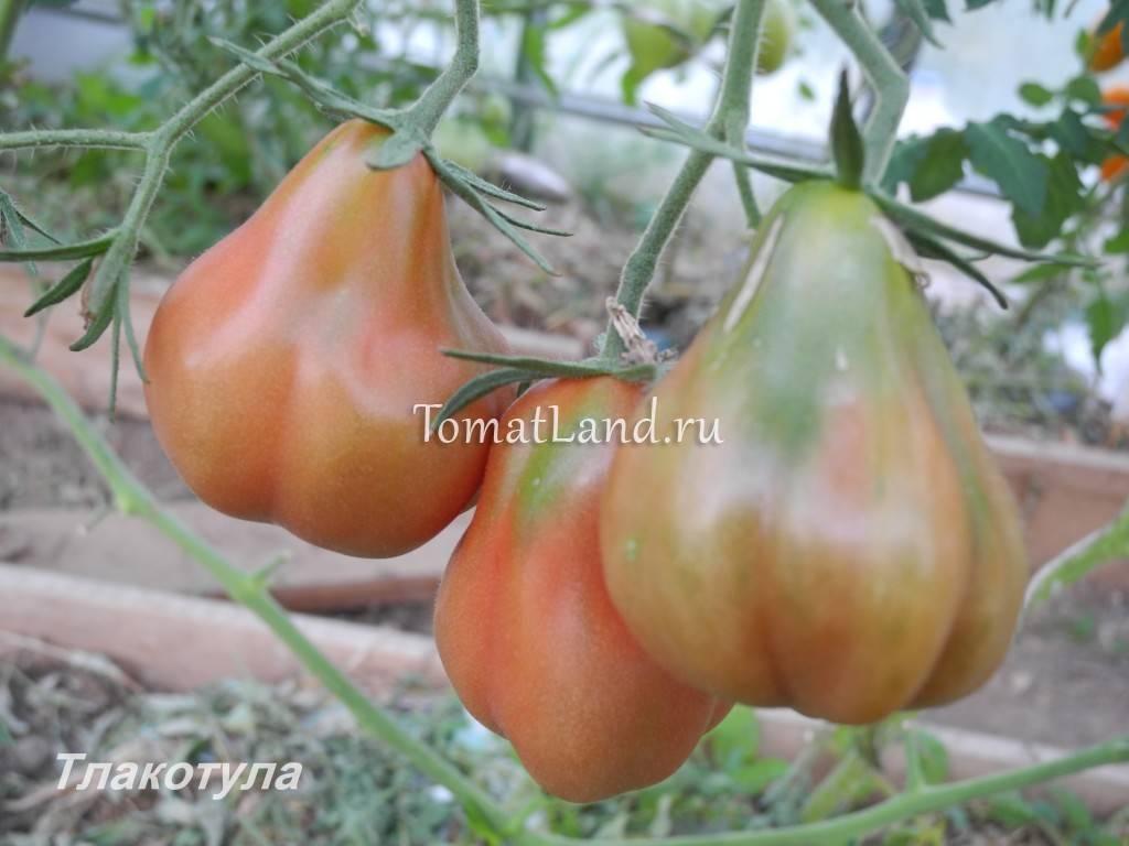 Томат султан (f1): отзывы о помидорах, характеристика и описание гибрида, его преимущества и недостатки, технология выращивания и дальнейшее применение урожая