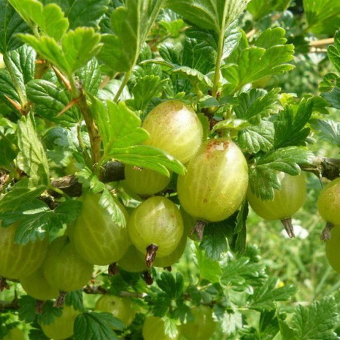 Крыжовник сенатор: сладчайшая ягода в саду