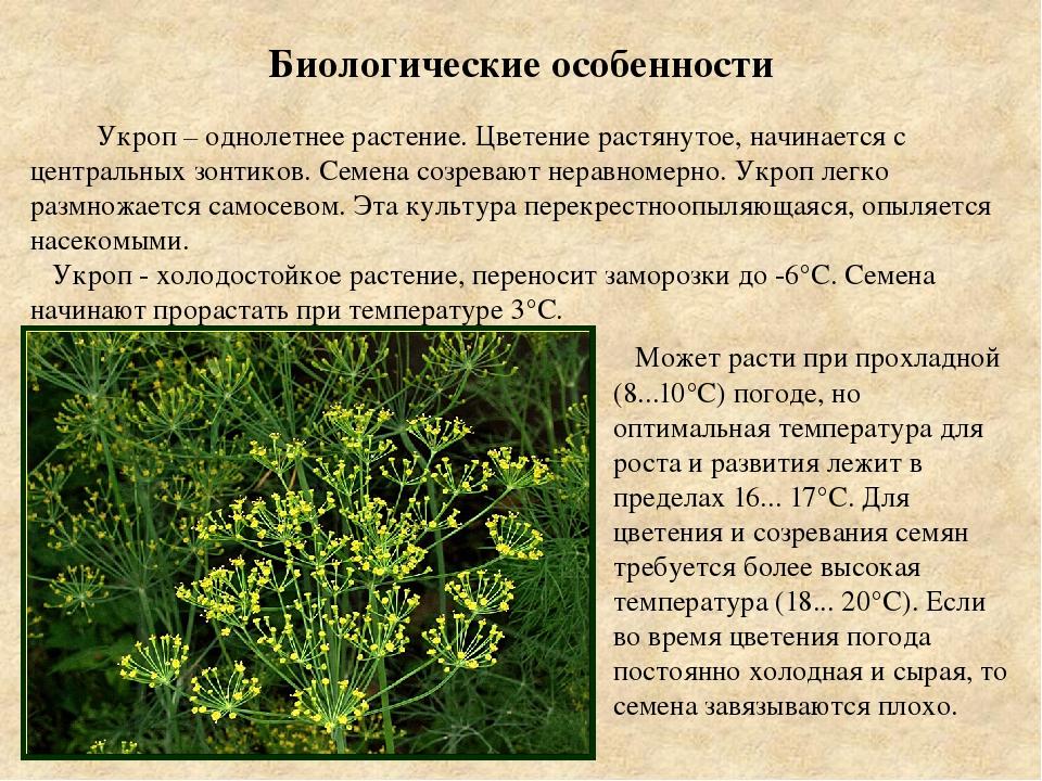 Листовая петрушка - выращивание и уход, лучшие сорта