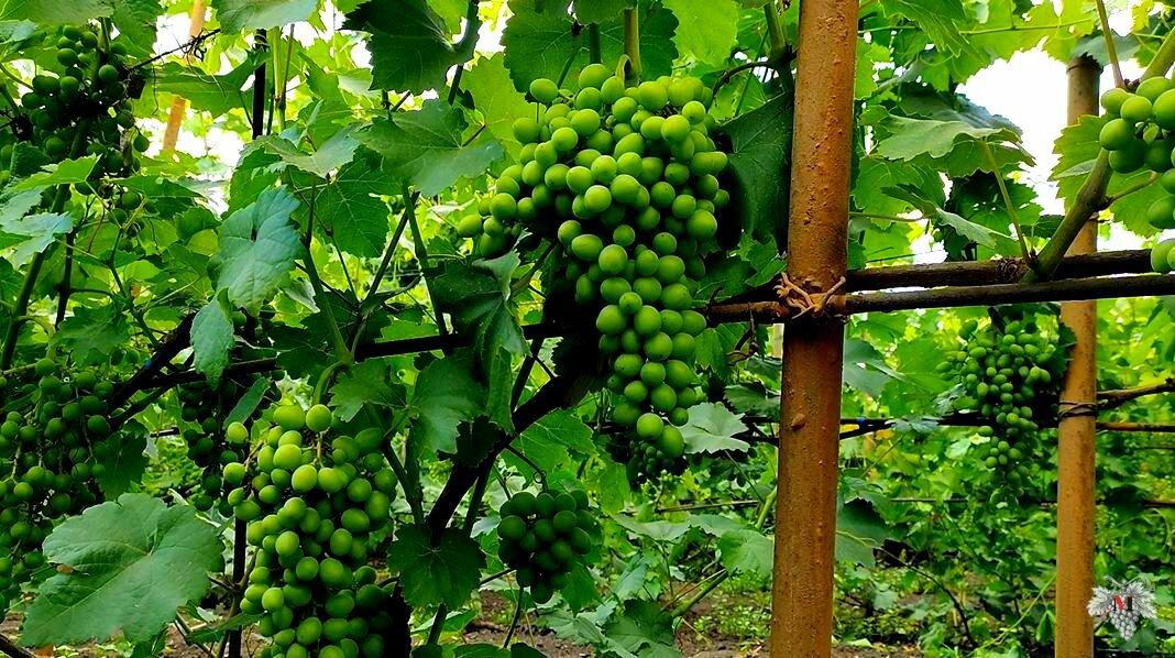 Полив винограда весной и летом: как правильно поливать после и во время цветения, созревания