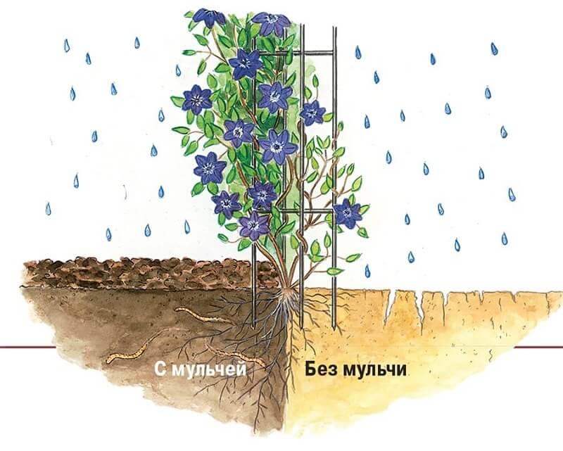 Клематис посадка и уход в открытом грунте размножение семенами и черенками фото сортов