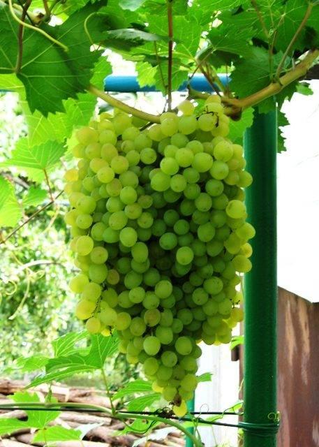 Виноград русбол фото. сорт винограда русбол: легкий уход и отличный урожай