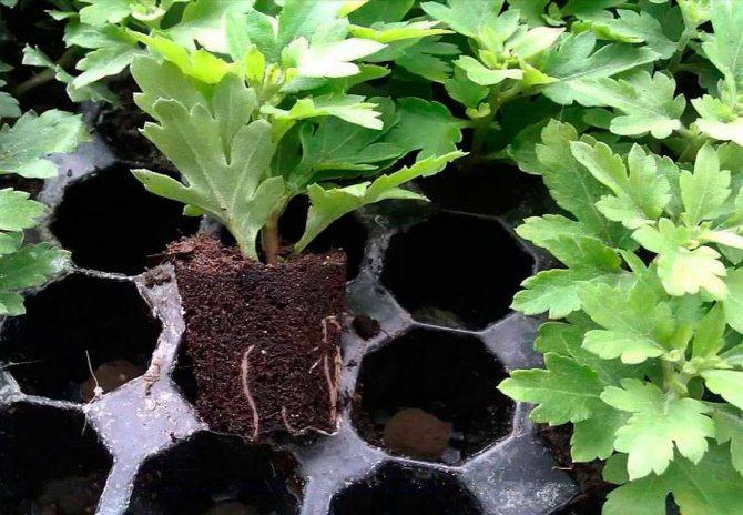 Все о пересадке хризантем: когда пересаживать и как правильно это сделать
