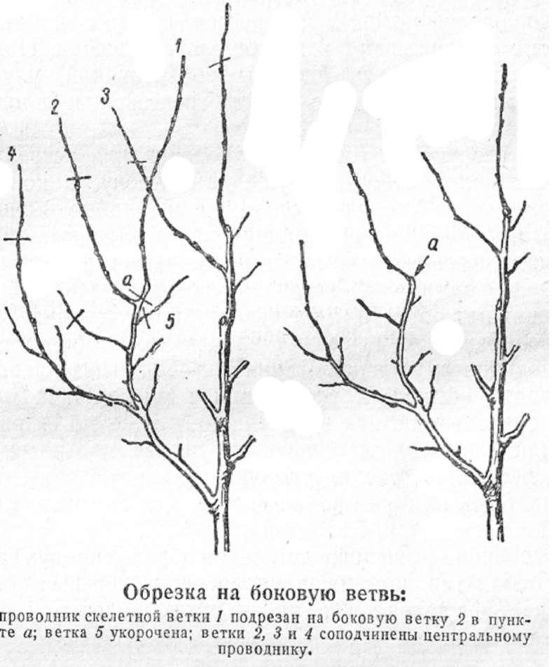 Схема обрезки плодовых деревьев весной: правила и рекомендации