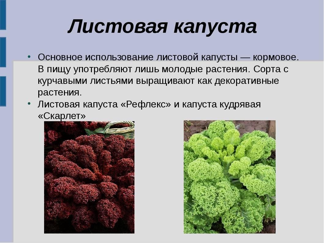 Декоративная капуста: описание сортов, фото с названием, выращивание и уход