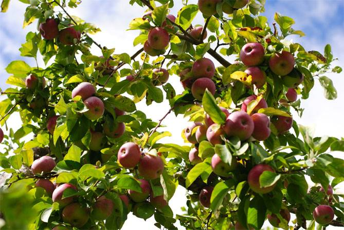 Яблоня лобо - описание и характеристика сорта, посадка