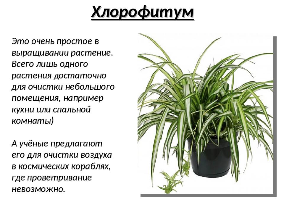 Хлорофитум – описание, уход, полезные свойства