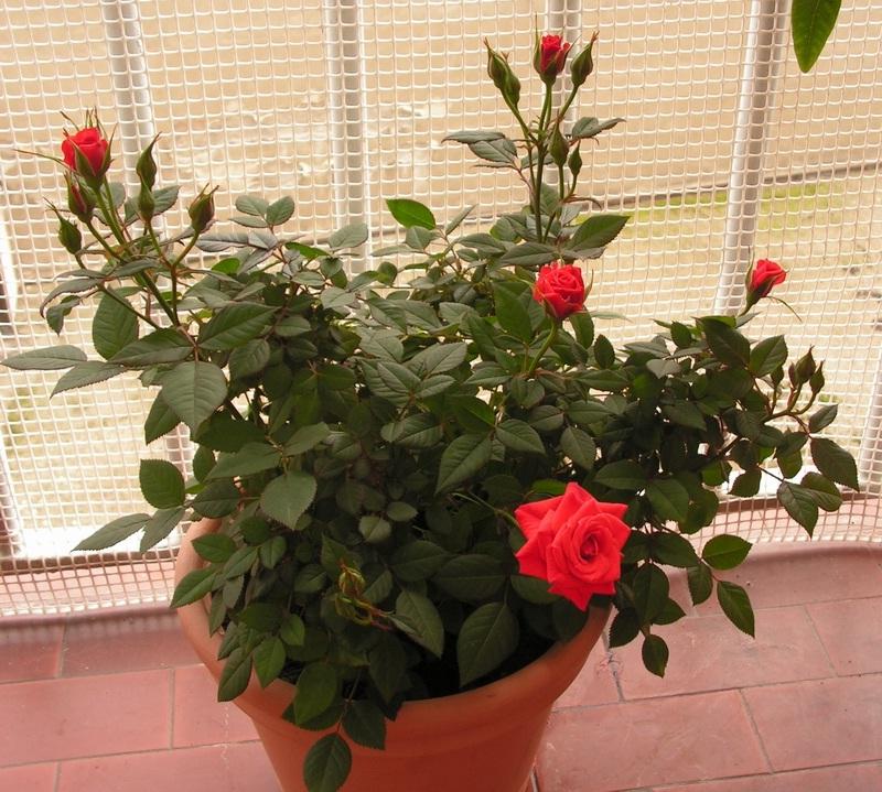 Уход за домашней розой в горшке и трудности при выращивании