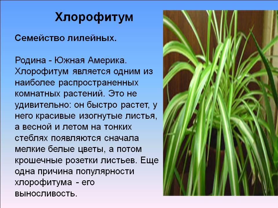 Хлорофитум (chlorophytum). правила ухода, выращивания. | floplants. о комнатных растениях