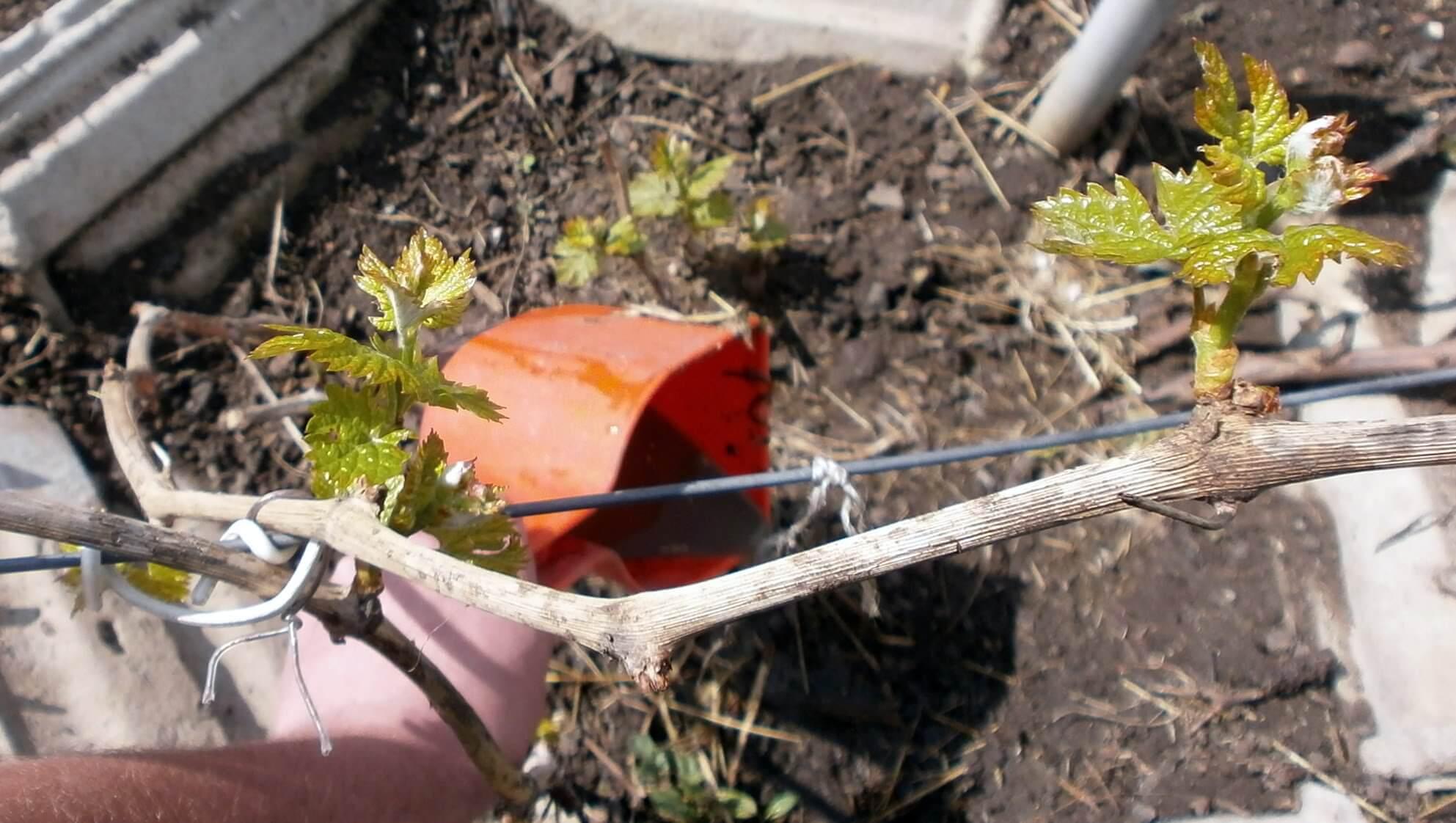 Подкормка винограда удобрениями: когда и что вносить
