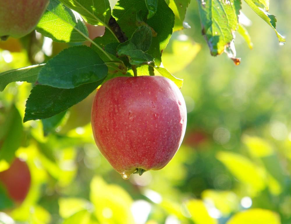 Яблоня солнцедар: описание, фото, отзывы