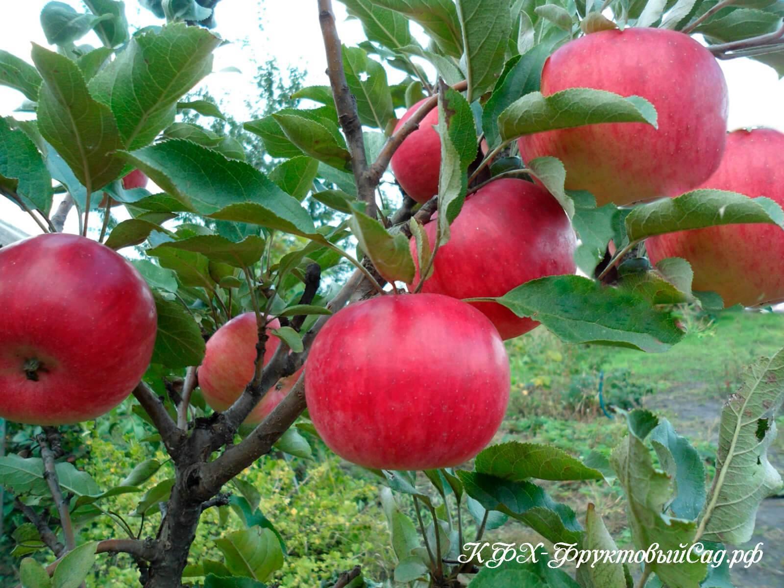 Яблоня аркад — как вырастить здоровое дерево
